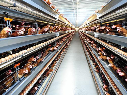 Đơn hàng chăn nuôi gà tại Shizouka