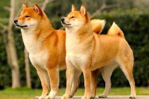 6 giống chó Nhật đẹp nhất và được ưa chuộng trên toàn thế giới
