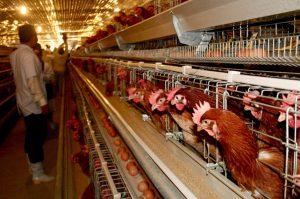 [NEW] Tuyển gấp 15 nam đi chăn nuôi gà tại nhật bản ở tỉnh CHIBA